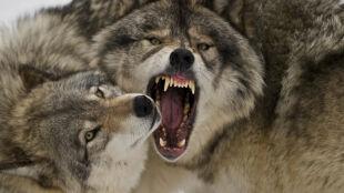 Wilki nie powstrzymają zmian klimatycznych. Jest ich za mało