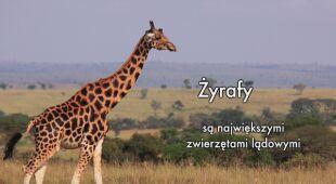 Żyrafy to największe ssaki lądowe